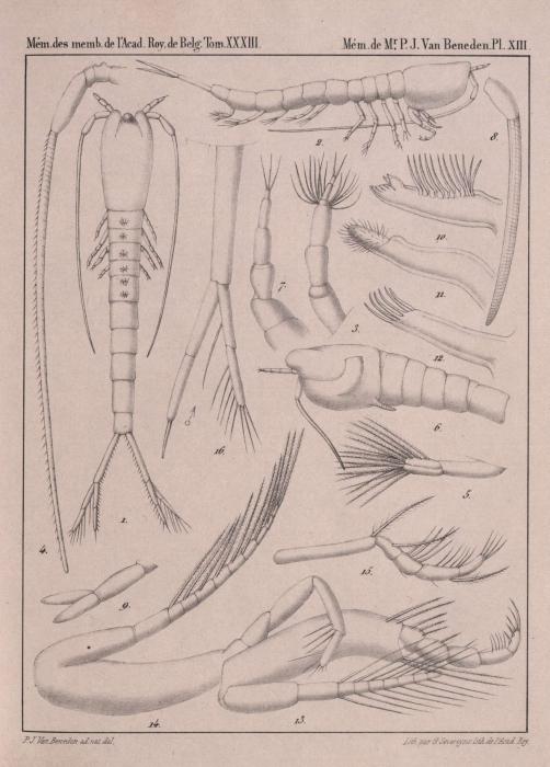 Van Beneden (1861, pl. 13)
