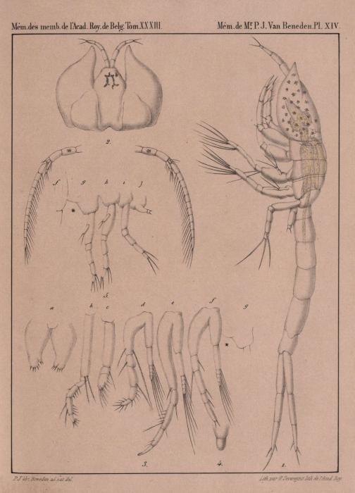 Van Beneden (1861, pl. 14)