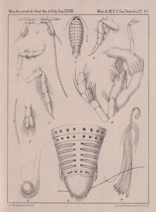 Van Beneden (1861, pl. 15)