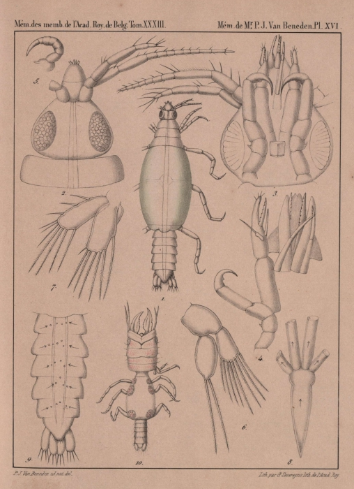 Van Beneden (1861, pl. 16)