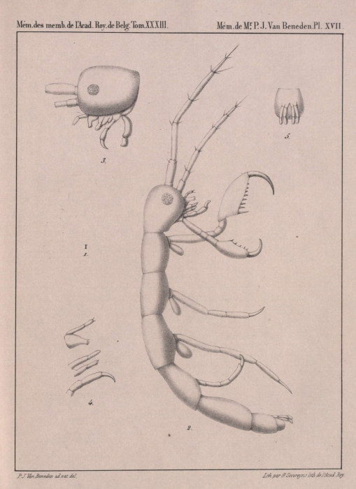 Van Beneden (1861, pl. 17)