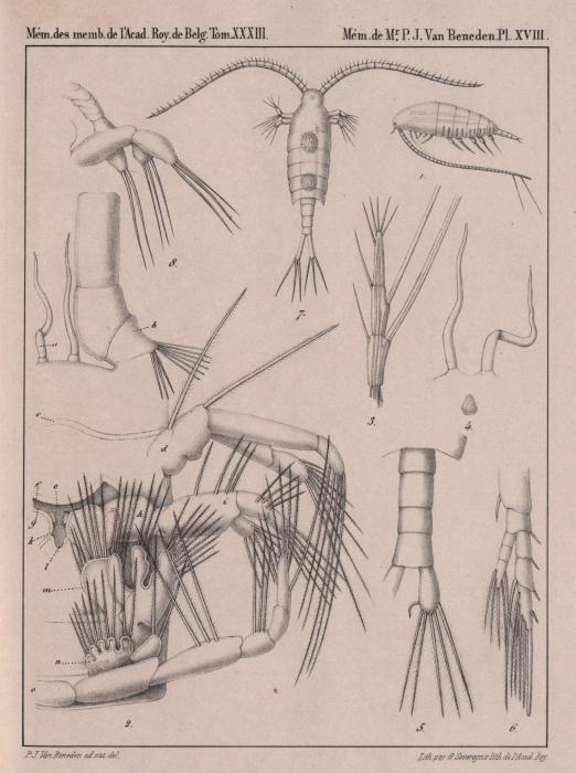 Van Beneden (1861, pl. 18)