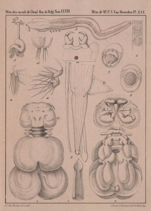 Van Beneden (1861, pl. 19)