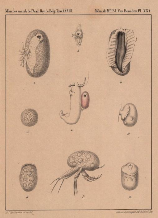 Van Beneden (1861, pl. 21)