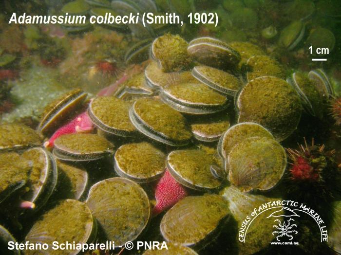 Adamussium colbecki