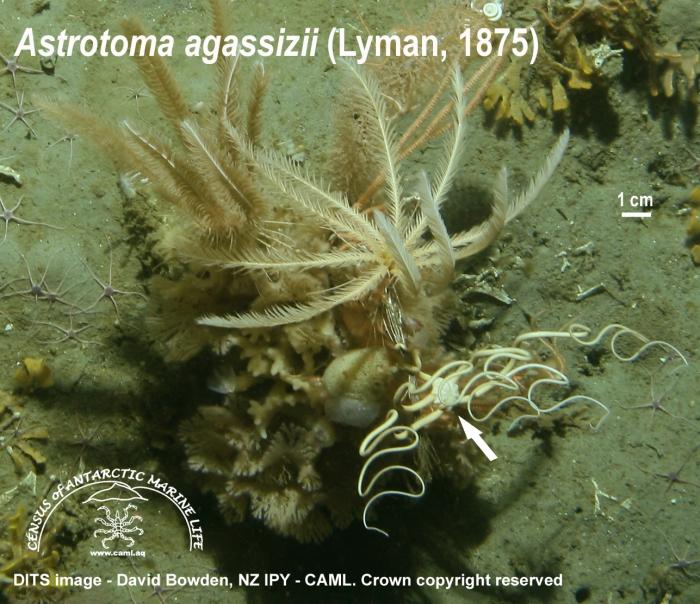 Astrotoma agassizi 2