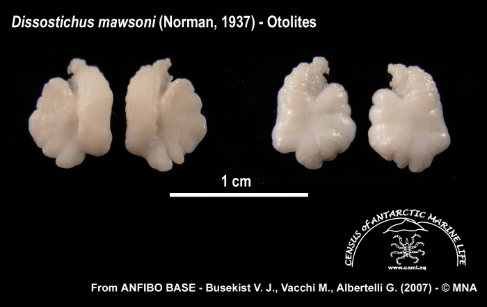 Dissostichus mawsoni (otolithi)
