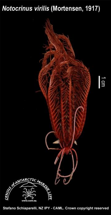 Notocrinus virilis 1