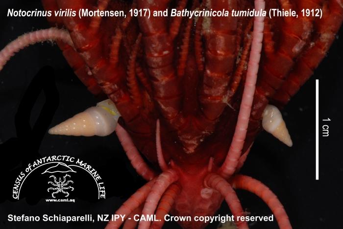 Notocrinus virilis with Bathycrinicola tumidula 1