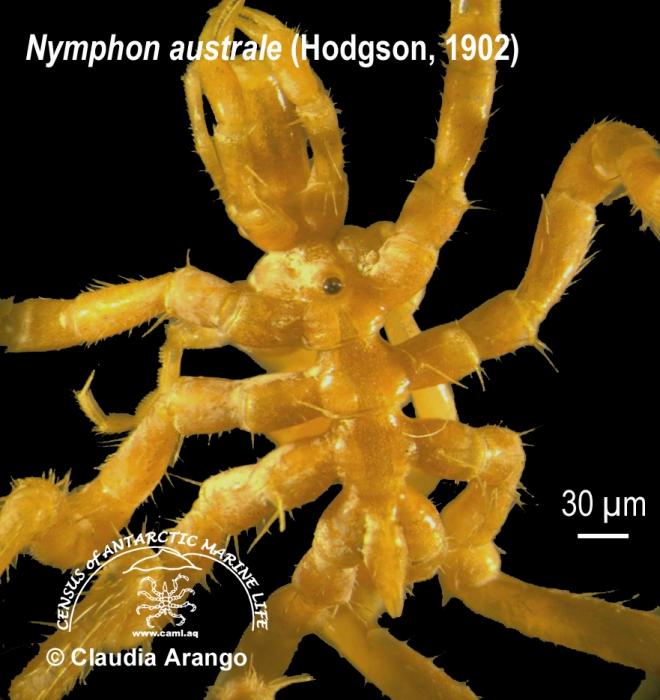 Nymphon australe 1