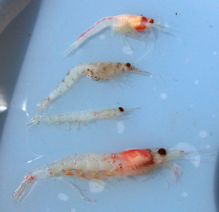 Krill and other zooplankton