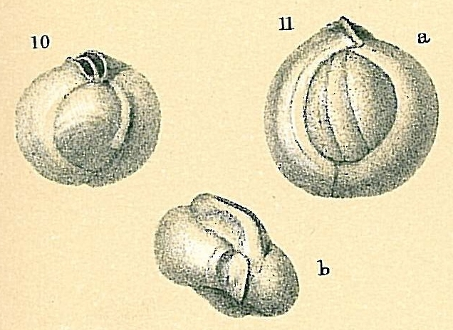 Sigmamiliolinella australis
