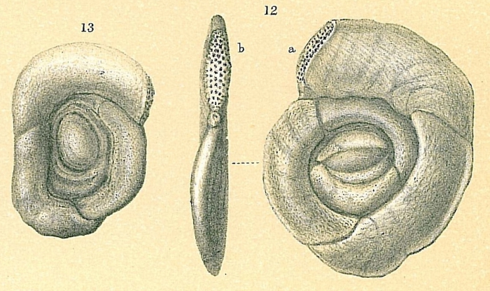 Sigmoihauerina bradyi