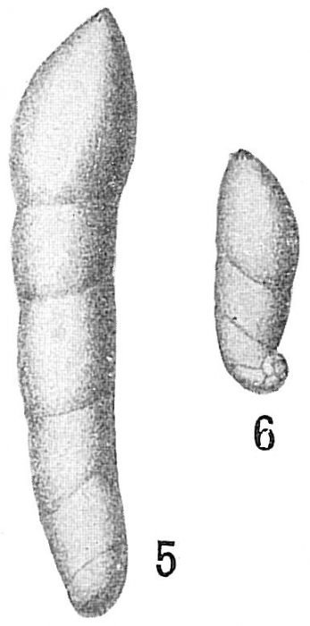 Marginulina glabra