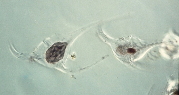 Amoebophyra ceratii in host Ceratium longipes