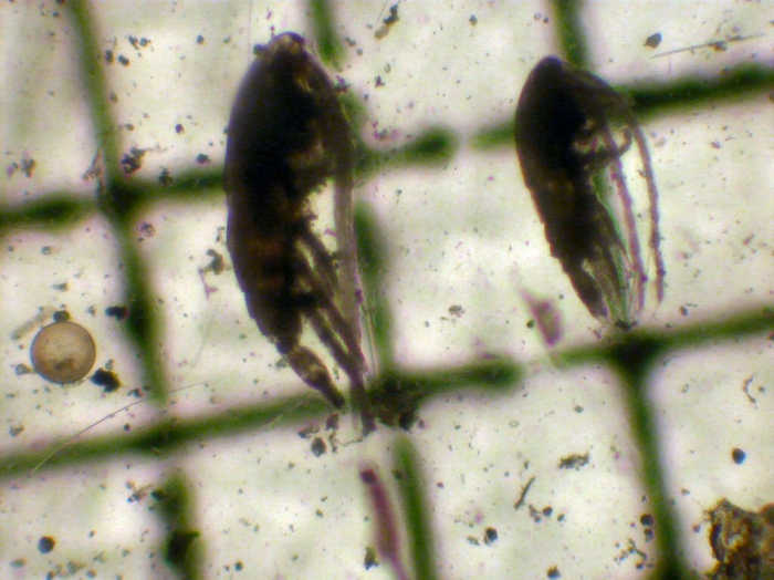 Calanus glacialis