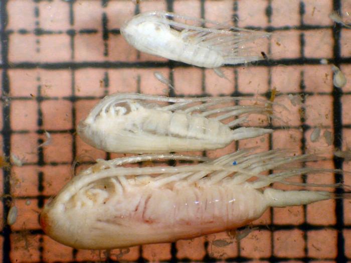 Calanus hyperboreus