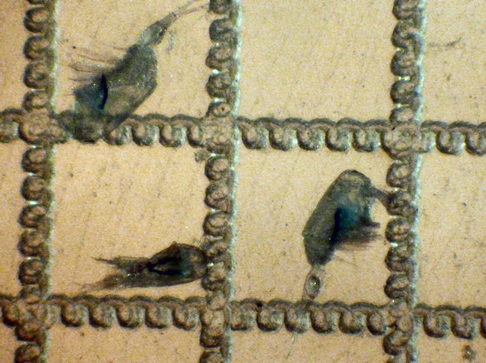 Corycaeus anglicus