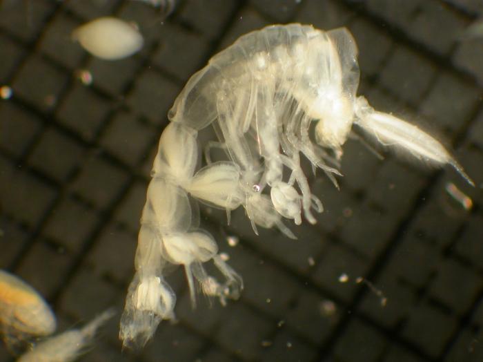 Phronima atlantica