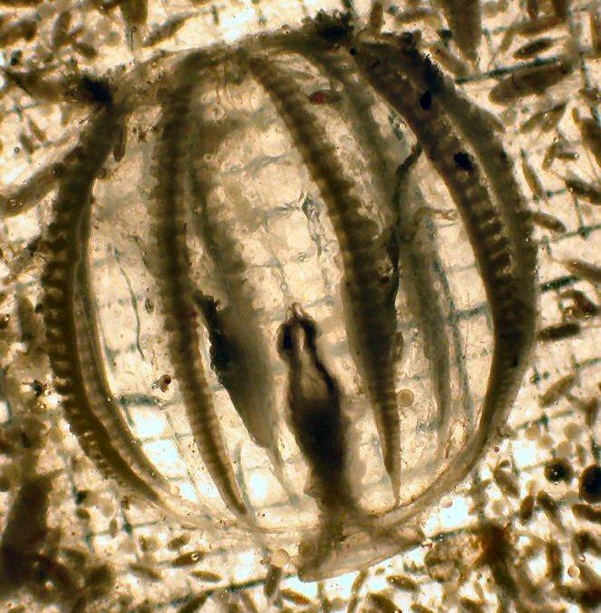 Pleurobrachia bachei
