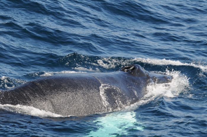 Humpback whale surfacing