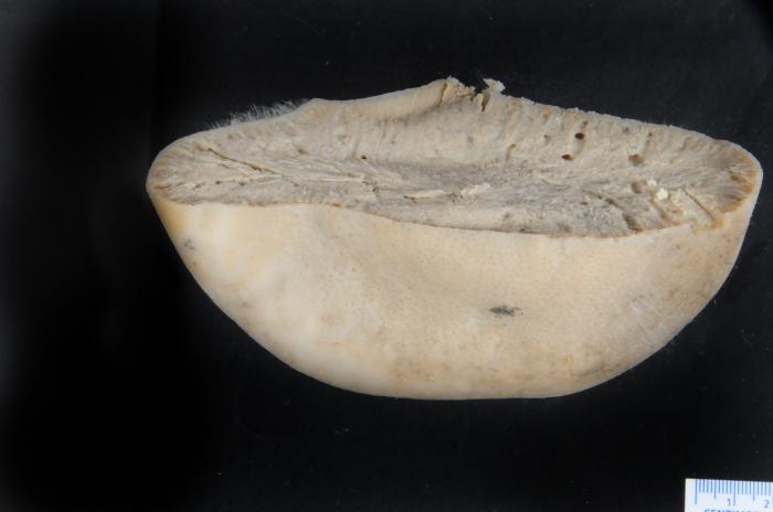 Geodia macandrewii