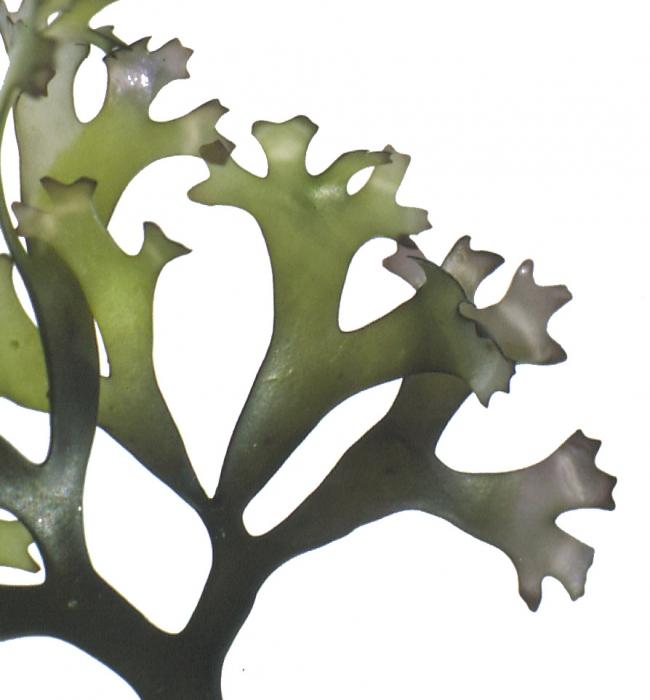 Chondrus - male plant