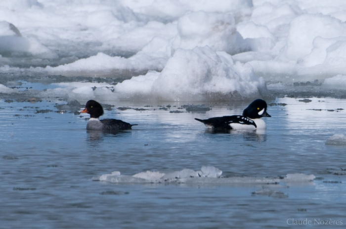 Barrow's goldeneye (pair)