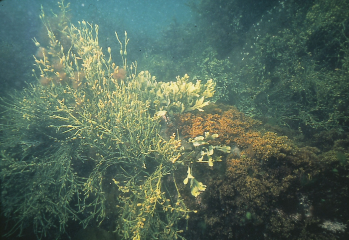 Ascophyllum, Chondrus and Fucus