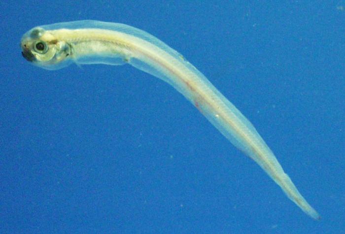 Melanostigma atlanticum - Atlantic softpout 2