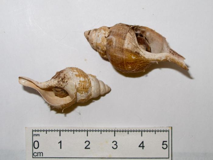 Colus tortuosus