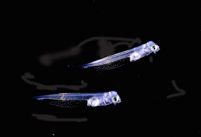 Flatfish larvae