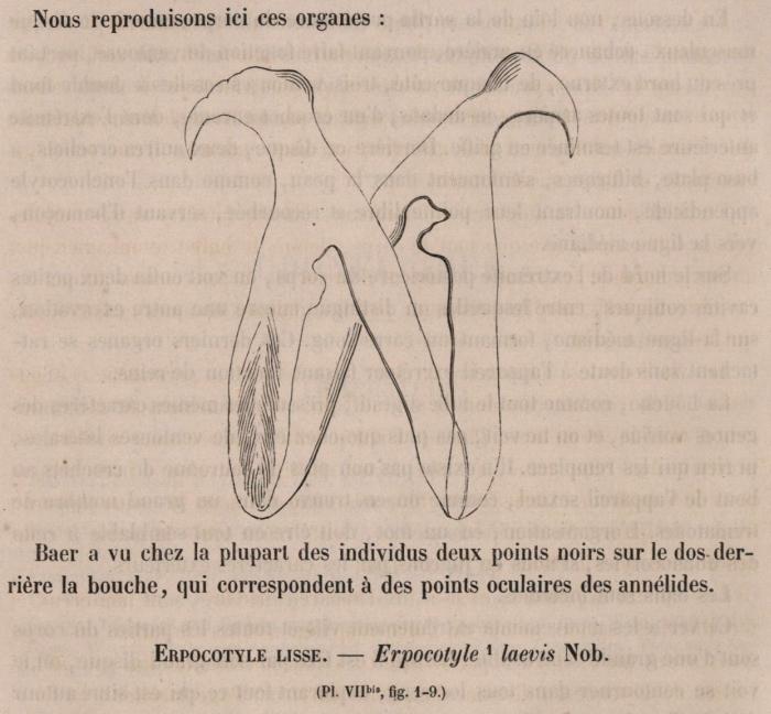 Van Beneden & Hesse (1864, fig. 1)