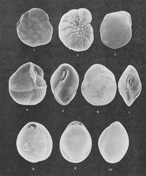 Foraminifera - Plate 9 - Rotaliidae, Islandiellidae, Miliolidae