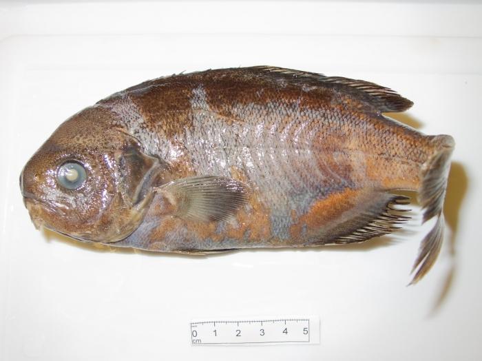 Hyperoglyphe perciformis - barrelfish