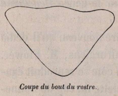 Van Beneden (1870, fig. 04)