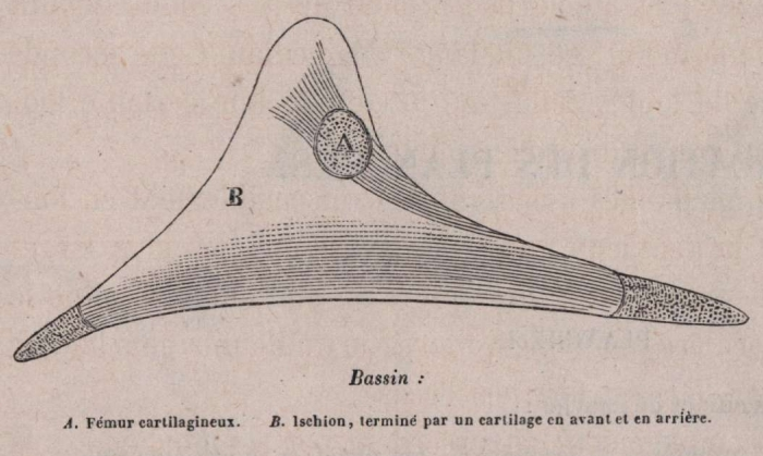 Van Beneden (1870, fig. 11)