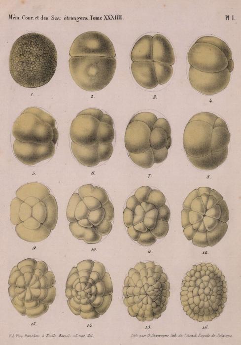 Van Beneden & Bessels (1868, pl. 1)