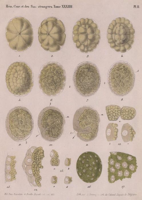 Van Beneden & Bessels (1868, pl. 2)