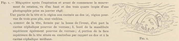 Racovitza (1903, fig. 01)