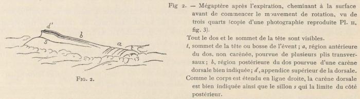 Racovitza (1903, fig. 02)