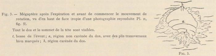 Racovitza (1903, fig. 03)