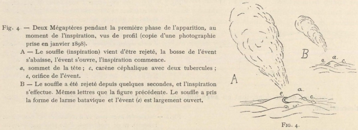 Racovitza (1903, fig. 04)