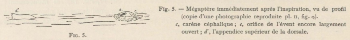 Racovitza (1903, fig. 05)