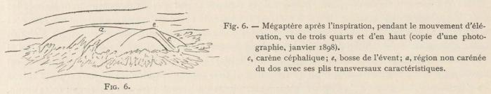 Racovitza (1903, fig. 06)