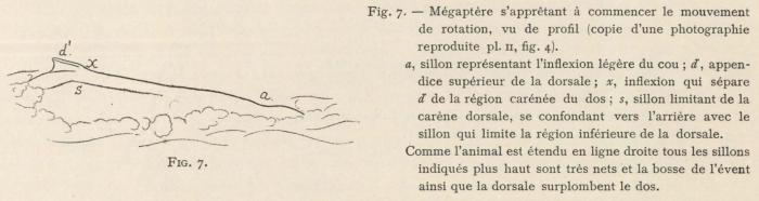 Racovitza (1903, fig. 07)