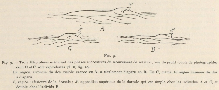 Racovitza (1903, fig. 09)