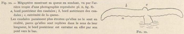 Racovitza (1903, fig. 10)