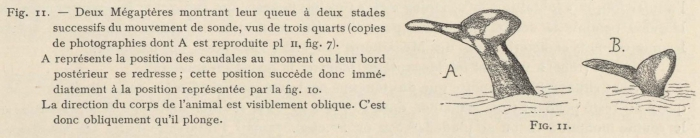 Racovitza (1903, fig. 11)