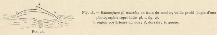 Racovitza (1903, fig. 13)